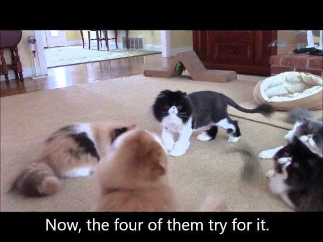 Persian cats at play
