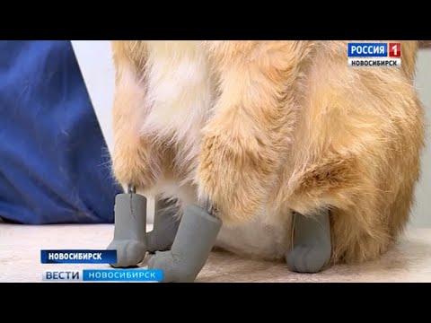 Новосибирские ветеринары поставили на поток операции по биопротезированию