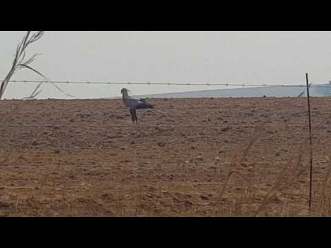 Secretary bird catch big mole snake!!! a Must watch!!☝👍