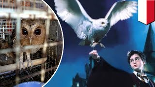 Harry Potter owls  conservationists blame Harry Potter fans for owls sold in pet trade   TomoNews
