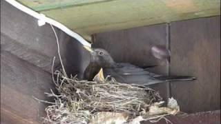 [HD] Die Amsel im Garten beim baden, zwitschern und im Nest / Blackbird sings to his friends