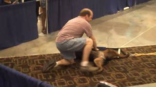 Female Rottweiler Pulls 1320 Lbs!