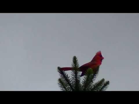 Chim Đẹp, Hót Hay Nhưng Chim Gì Đây ?Có Phải Hồng Y Giáo Chủ??