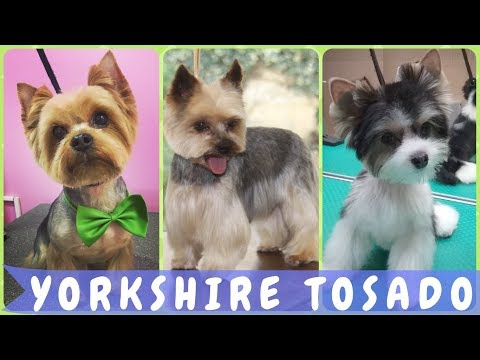 Top 30 ideias  como tosar yorkshire