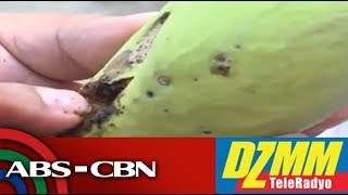 DZMM TeleRadyo: 44,000 puno ng mangga sa Pangasinan, inatake ng pesteng 'kurikong'