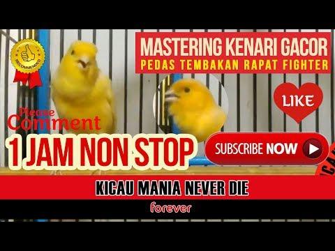 Download Lagu Masteran Kenari Kalitan Gacor Pedas Speed Rapat I Mastering Canary Singging