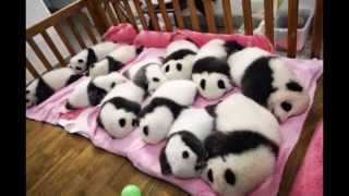 Лапочки-панды