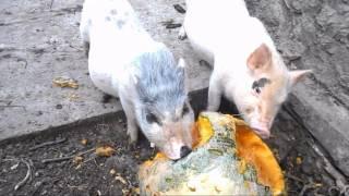 Вьетнамские поросята !!! Или как превратить тыкву в мясо !!!(, 2016-08-28T09:14:41.000Z)