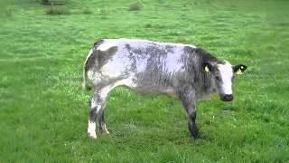 belgian blues 2013 by progressive ai bulls