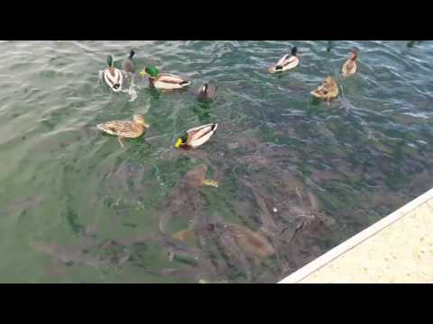 Las Vegas Boat Harbor - feeding the ducks and fish (rsf.dly)