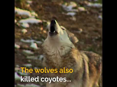 Newsner || 14 Wolves affect Yellowstone National Park's ecosystem in a very positive way