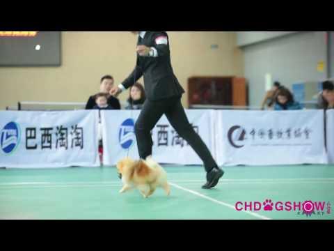 Pomeranian in China NGKC XI'AN Champion Show
