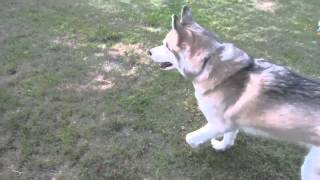 Siberian Husky Shelby Is A Clown! Mini-video