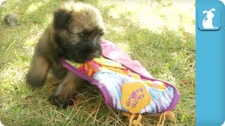 Wheaten Terrier Puppies Play With A Blanket - Puppy Love