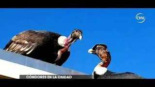 Cóndores descansaron en techo de terraza en Las Condes - CHV NOTICIAS