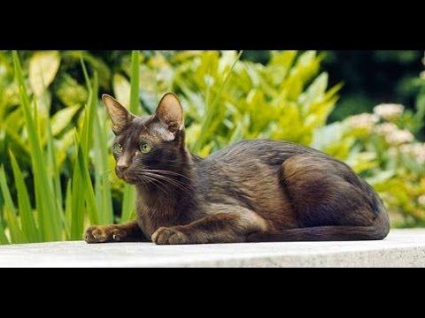 Animal Planet  : Cats 101 ~  Havana Brown