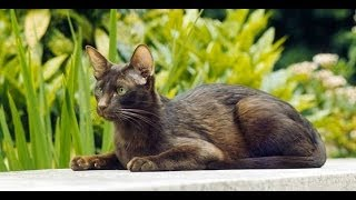 Animal Planet  : Cats 101 ~  Havana Brown