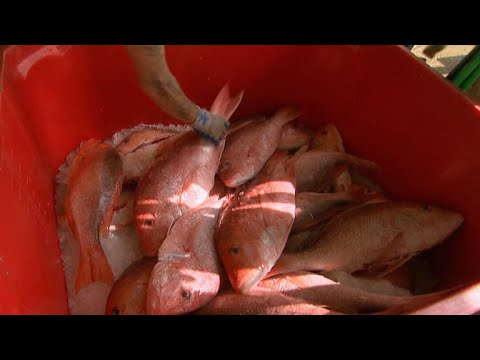 Environmental group sues over extended red snapper fishing season