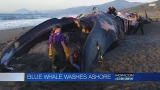 Rare blue whale washes ashore in southern Oregon
