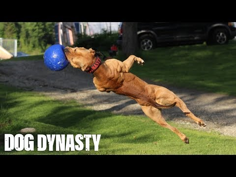 'Super' Pit Bull: Training The Ultimate Protection Dog | DOG DYNASTY