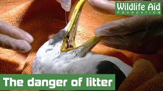 Entangled Gull with HOOK stuck in throat! - Animal Rescue