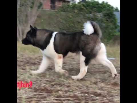 Amazing AMERICAN AKITA Dogs In The World