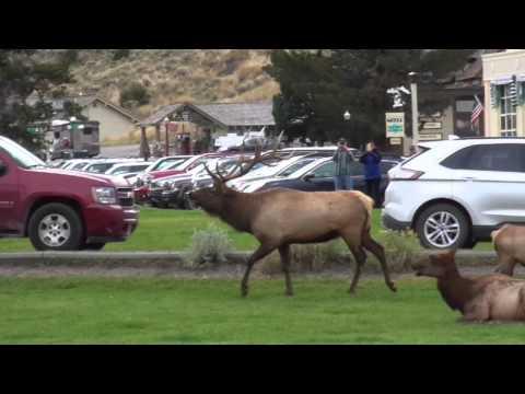 Bull Elk Rams Car at Mammoth Hot Springs 9/18/15