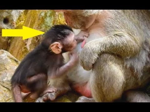WOW !!! Surprise ! Newborn baby Julina confuse get milk from other monkey| Jane see wonder & worry.