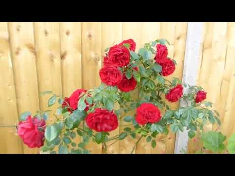 Rosa Dublin Bay Fully Double Pure Red Climbing Rose