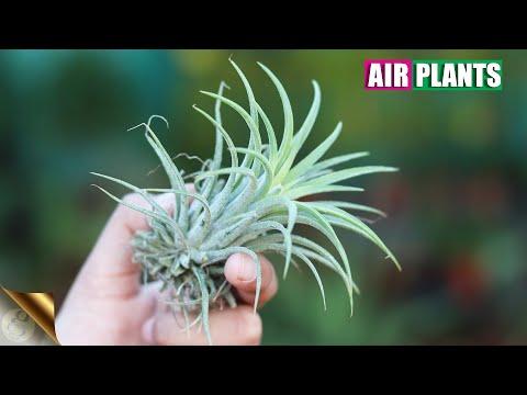 MEET AIR PLANTS WHICH SURVIVE ON AIR NOT SOIL   TILLANDSIA CARE TIPS