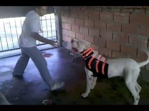Chaleco Protector Canino Para Caza Mayor Youtube