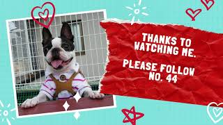 Boston Terrier | The Top 50 Most Popular Dog Breeds In The World