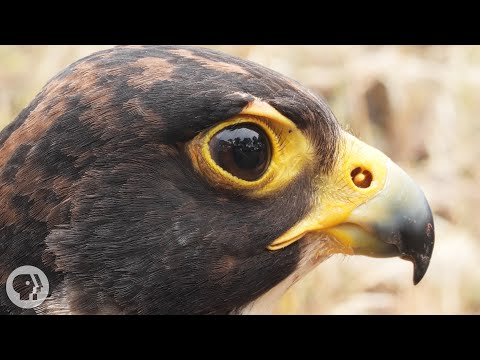 Video: Peregrine falcons can fly at more than 200 miles per hour