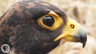 peregrine-falcons-are-feathered-fighter-jets-basically-deep-look