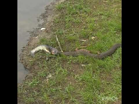 Water Moccasin Vs. Fish Vs. Water Snake!!!!!