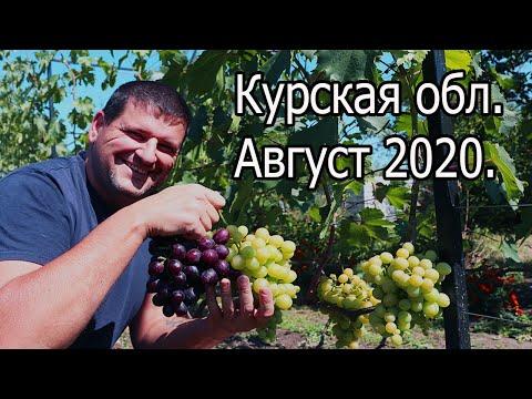 Собираем урожай винограда 2020. Что делать на винограднике в августе.