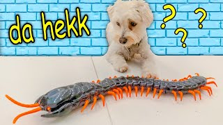 PUPPY VS GIANT CENTIPEDE