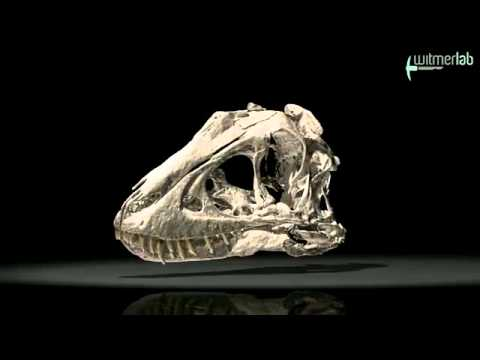 Juvenile skull of Tarbosaurus