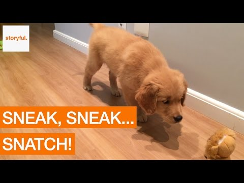 Hilarious Dog Tiptoes and Robs Cuddly Toy (Storyful, Dogs)