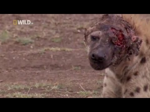 Hyena face get destroyed after lion attack