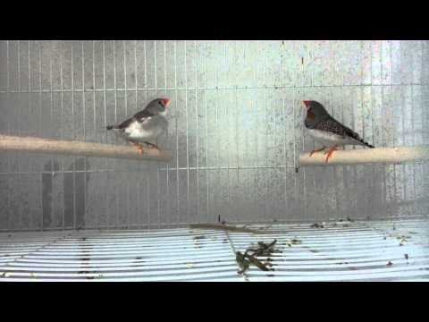 ZEBRA FINCH - male & female MEET for the 1ST time