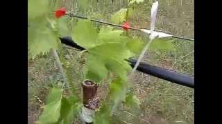 Εμβολιασμός Αμπέλου 2,grafting grapevive, vakis