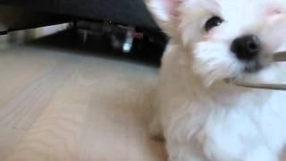Болонка мальтийская. Игривый щенок.