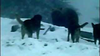 LIVE - dogs fighting brown bear