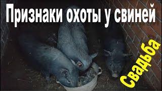 Как вьетнамский кабан за свинкой ухаживает и какие признаки охоты бывают у свиней