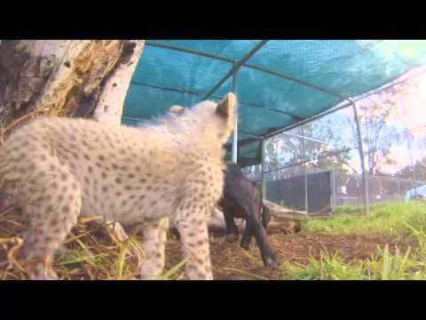 Meet Siri the Cheetah cub and her companion puppy