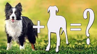 Border Collie Cross Breeds / Top 10 Border Collie Mixes Dog Breed