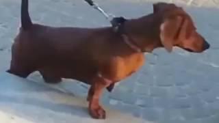 Ворона издевается над собакой