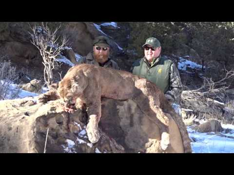 Guided Mountain Lion Hunt In The Utah Bookcliffs