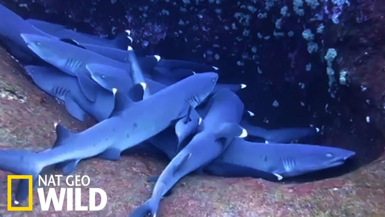 La sieste des requins à pointes blanches